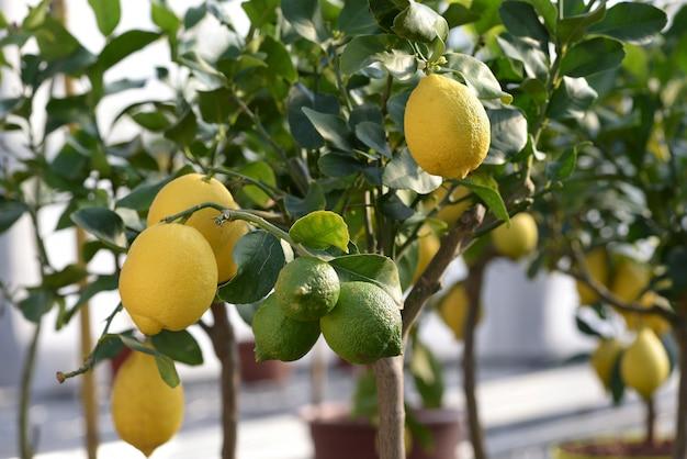木に掛かっている健康的な緑と黄色のレモン