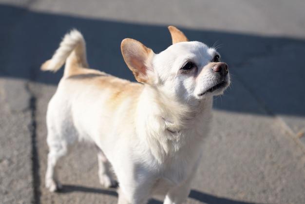 茶色の耳を持つ小さな白いチワワ犬