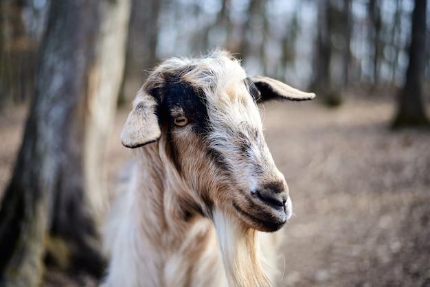 カメラに探している羊