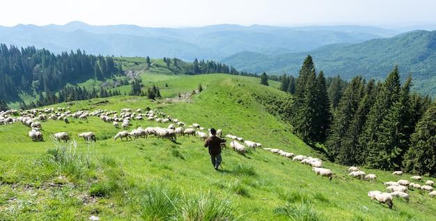 カルパティア山脈の緑の谷に白い羊