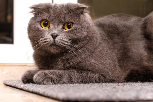 Серебряный британский котик