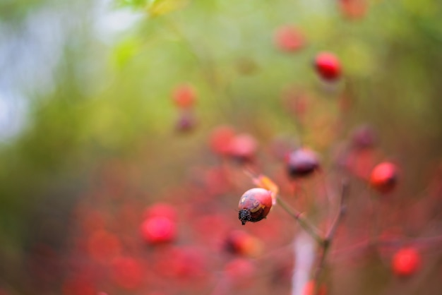 茂みに赤い熟したローズヒップ