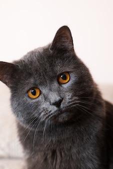ブリティッシュショートヘアの猫