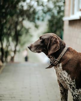 Немецкая короткошерстная указка породы собак
