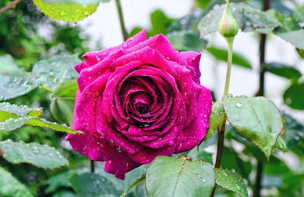Закройте фото красивой розовой розы с каплями воды под дождем.