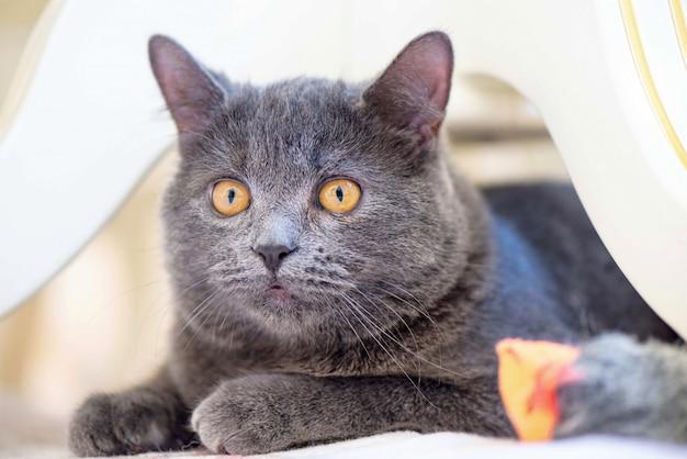 シルバーショートヘアの猫