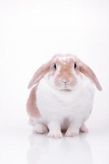 Студийные фотографии красного зайчика