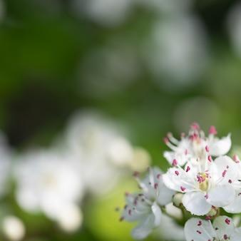 サンザシの白い春の花