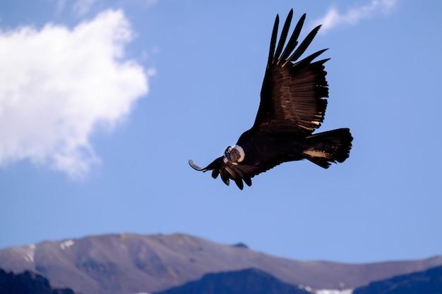 ペルーのコルカ渓谷の上を飛んでいるコンドル
