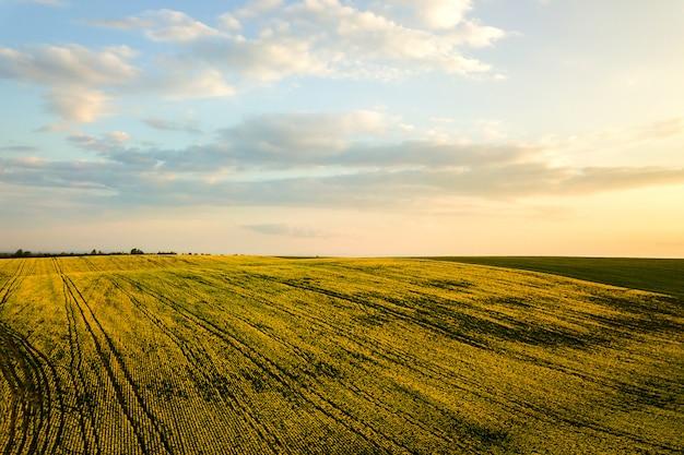 Вид с воздуха ярко-зеленого сельскохозяйственного поля фермы с растущими рапс растений на закате.