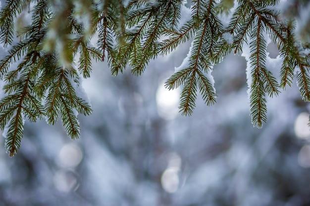 Ветви сосны с зелеными иголками покрыты глубоким свежим чистым снегом на размытой синей улице