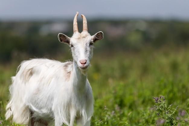 明るい日当たりの良い暖かい夏の日に長い角を持つ素敵な白い毛深いひげを生やしたヤギのクローズアッププロファイルの肖像画