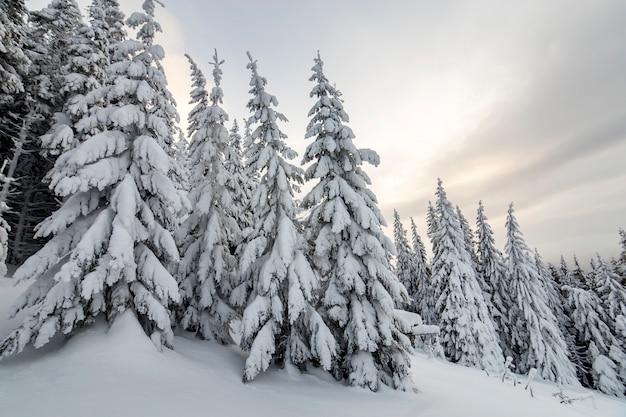 冬の森の雪で覆われたトウヒの木