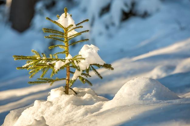 深い雪に覆われた緑の針のあるトウヒの木。