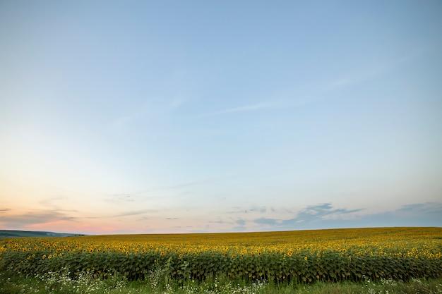 咲く明るい黄色の熟したひまわり畑。