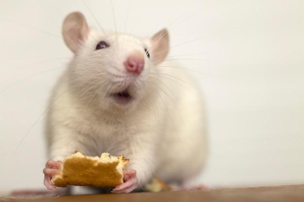 Белая домашняя крыса ест хлеб. домашнее животное в домашних условиях.