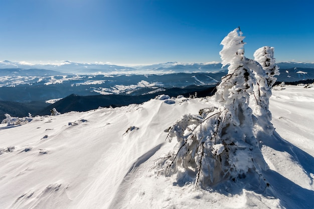 冬の山の曲がった小さな松の木は雪で覆われていました。北極の風景。カラフルな屋外シーン、芸術的なスタイルの後処理写真。