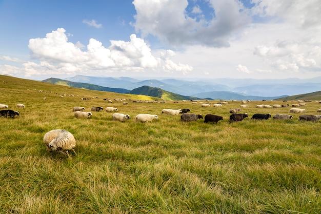 緑の山の牧草地に放牧農場の羊の群れ。