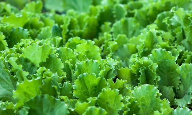 グリーンサラダの葉の背景