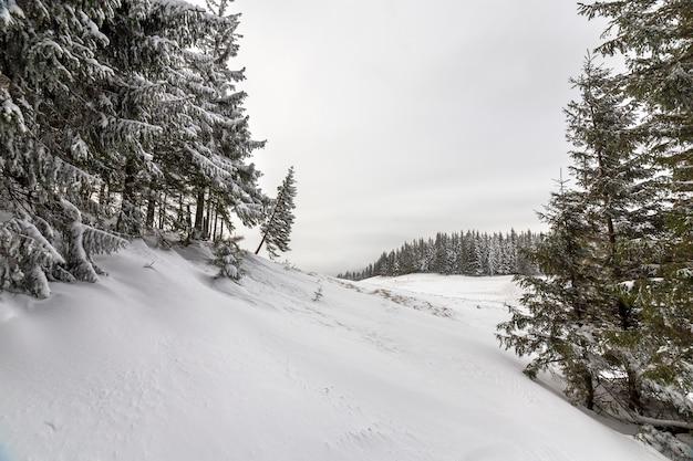 美しい冬の山の風景。山頂の雪で覆われた背の高い濃い緑のトウヒの木