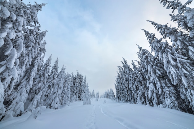 美しい冬の風景。背の高い濃い緑のトウヒの木と密な山の森、明るく冷ややかな冬の日に白いきれいな深い雪のパス。