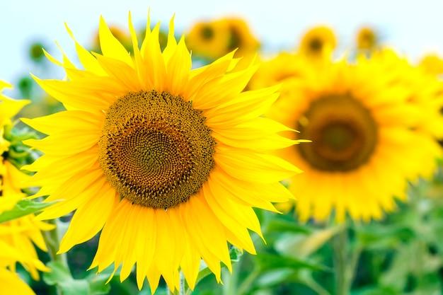 Желтые подсолнухи в поле