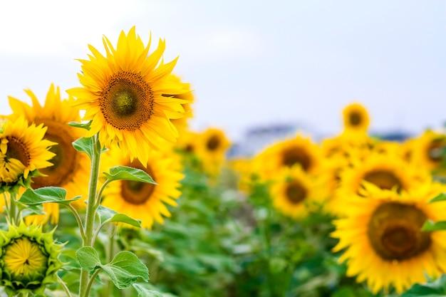 夏の畑のクローズアップで黄色のヒマワリ