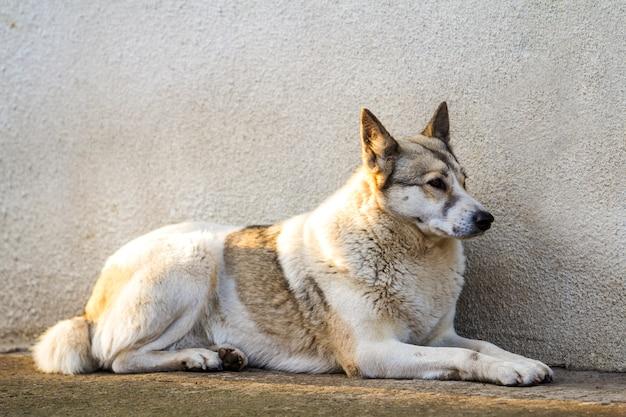 古い家の壁の近くに座っている白い犬