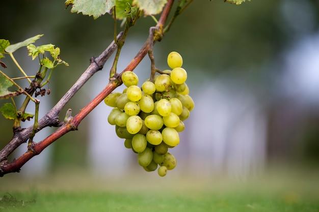 Крупный план виноградной лозы с зелеными листьями и спелой виноградной гроздью