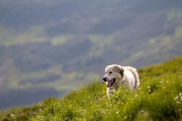 急な緑の草が茂った山の斜面に立っている大きな白い賢い羊飼い犬