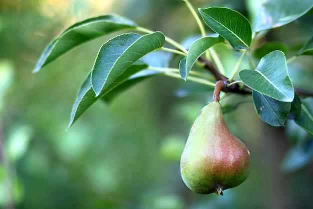 Плоды груши на дереве в плодовом саду крупным планом