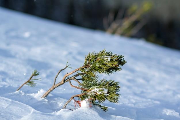 深く新鮮な雪で覆われた風で曲がった緑の長い針で若い松の木のシュート