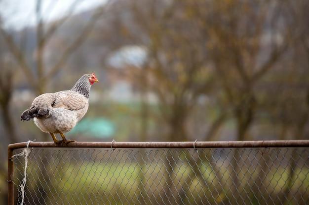 ぼやけたカラフルな田園風景に明るい晴れた日にワイヤーフェンスに大きな白と黒の素敵な鶏