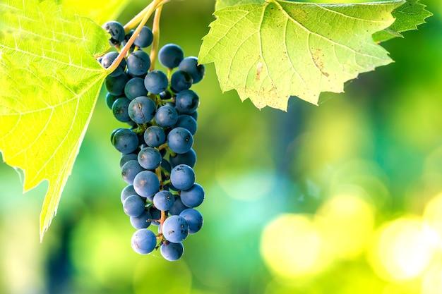 Темно-синий созревший виноградный кластер, освещенный ярким солнцем на размытой зелени