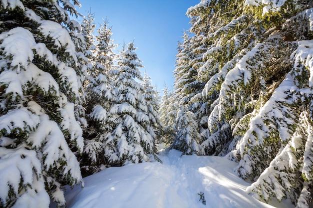 美しい冬の風景。明るい太陽光線に照らされた深い雪と霜に覆われた背の高いモミの木