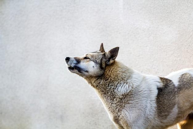 灰色の背景に犬の肖像画
