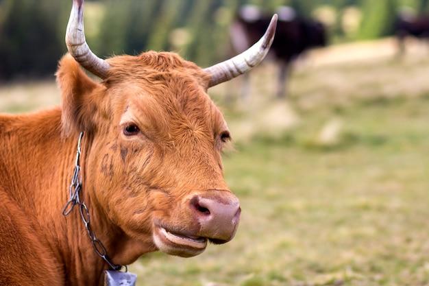 緑の日当たりの良い牧草地フィールドに大きな茶色の牛の頭のクローズアップは、背景をぼかしています。農業と農業、牛乳生産コンセプト。