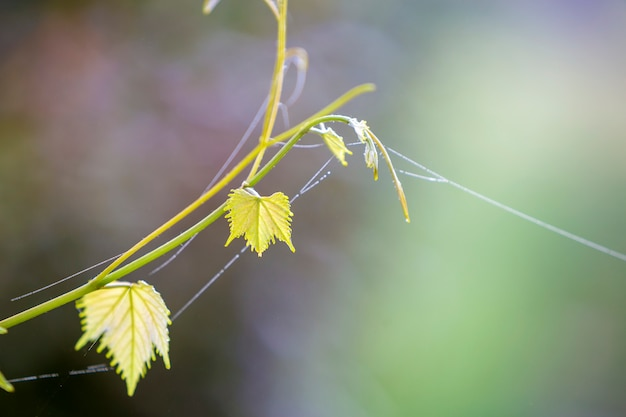 明るい日当たりの良いコピースペース背景に緑の葉のクモの巣と分離の柔らかいビンテージ小枝スプラウトのクローズアップ。はがきのテーマ、自然概念の美しさ。