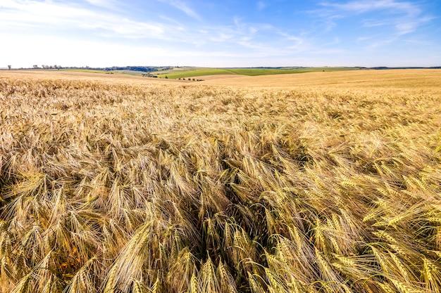 麦畑に赤い傘。黄金の小麦の耳がクローズアップ。美しい自然の風景。輝く太陽の下での田園風景。豊かな収穫のコンセプト