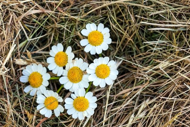 白いデイジーの花と黄色のわら干し草