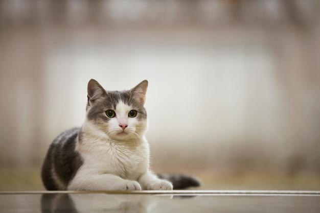Портрет красивой белой и серой домашней кошки с большими круглыми зелеными глазами, кладущий, расслабился на открытом воздухе на стертом солнечном свете. концепция животного мира.