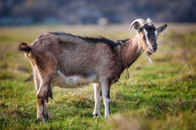 ぼやけた緑の芝生のフィールドで明るい日当たりの良い暖かい夏の日に長い角とひげと素敵な白茶色の毛深いひげを生やしたヤギ。家畜農業のコンセプト。