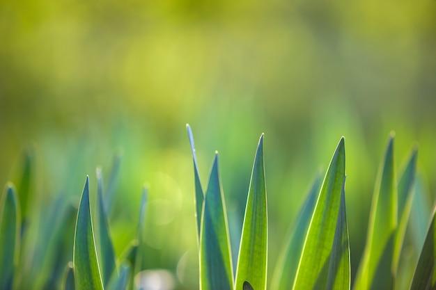 明るい緑の草、晴れた春または夏の日にぼやけた緑ボケ草が茂った背景に成長している薄い刃。自然環境の概念の美しさ。