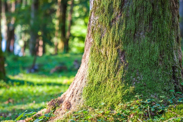 Пень с мхом в осеннем лесу. старый пень, покрытый мхом в хвойном лесу, красивый пейзаж