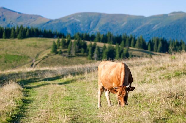 Летний пейзаж в карпатах с коровами, пасущимися на свежих зеленых горных пастбищах