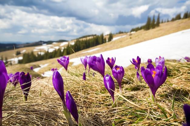 美しい最初の春の花、日当たりの良い金色の背景をぼかしに明るい春の朝にカルパティア山脈に咲く紫のクロッカスのクローズアップ。自然概念の保護。