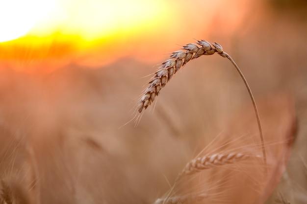 Крупный план теплых цветных золотисто-желтых спелых сфокусированных головок пшеницы в солнечный летний день