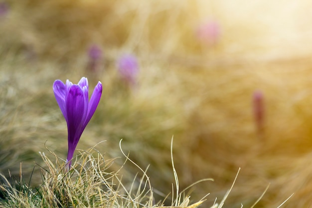 美しい最初の春の花のクローズアップ、明るい春の朝にカルパティア山脈に咲く紫のクロッカスぼやけて日当たりの良い黄金の自然概念の保護。