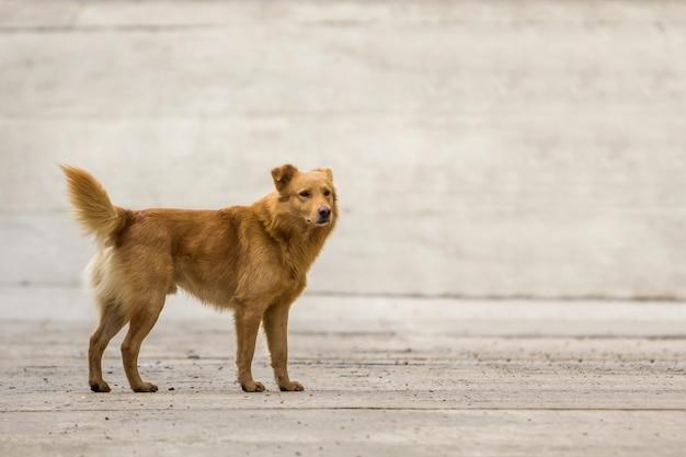 屋外のふくらんでいる尾を持つ黄色い犬ペット