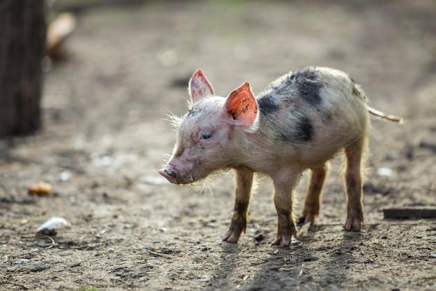 日当たりの良い農場で屋外に立っている小さな若い面白い汚いピンクと黒豚子豚。種まき農業、自然食品の生産。